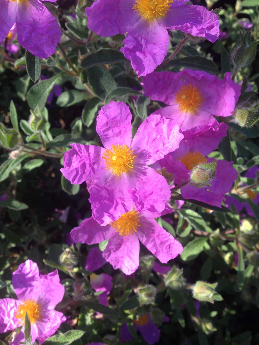 Fleur Ciste
